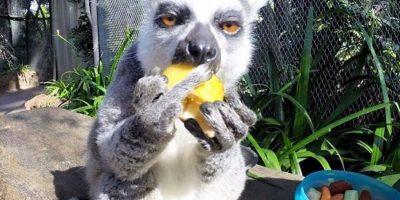 Esta foto de un lemur en el Zoo La Aurora causó revuelo en redes