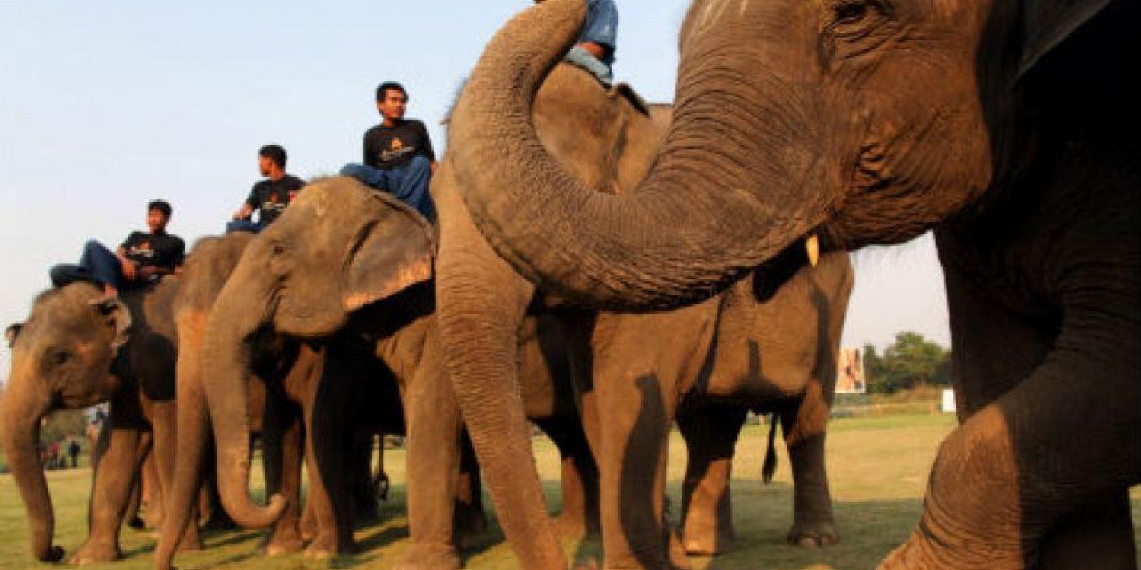 Pueden alcanzar los 7,5 metros (25 pies) de largo y 3,3 metros (11 pies) de alto. Llegan a pesar seis toneladas. Foto:Getty Images