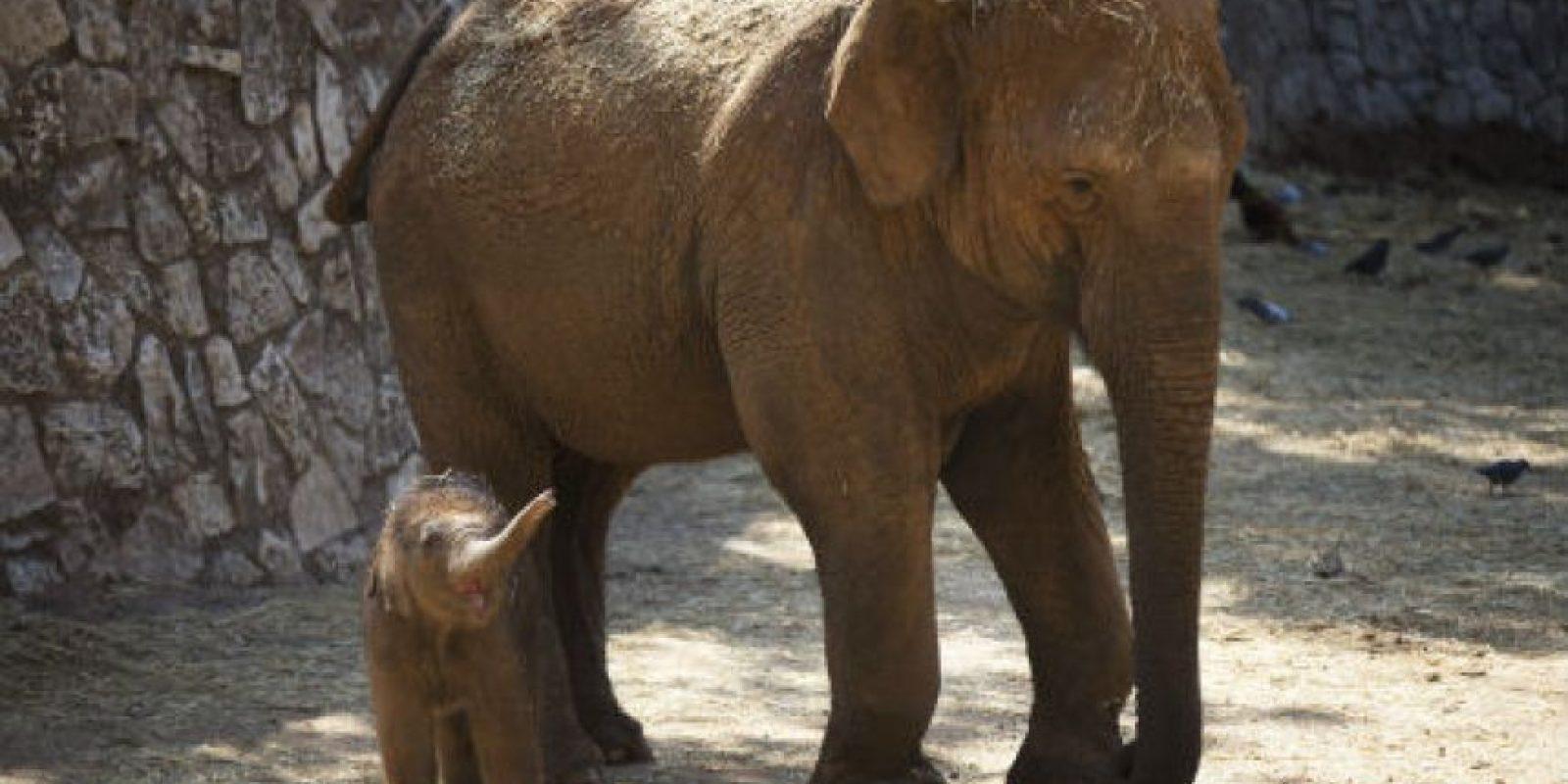 Por lo general, una sola cría nace después de un período de gestación de 22 meses. Foto:Getty Images