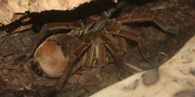 Tarántula Goliat: esta araña es una de las más grandes. Foto:commons.wikimedia.org