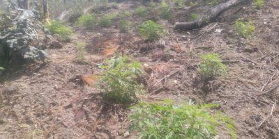 Erradican marihuana valorada en más de Q9 millones que estaba escondida en bosque