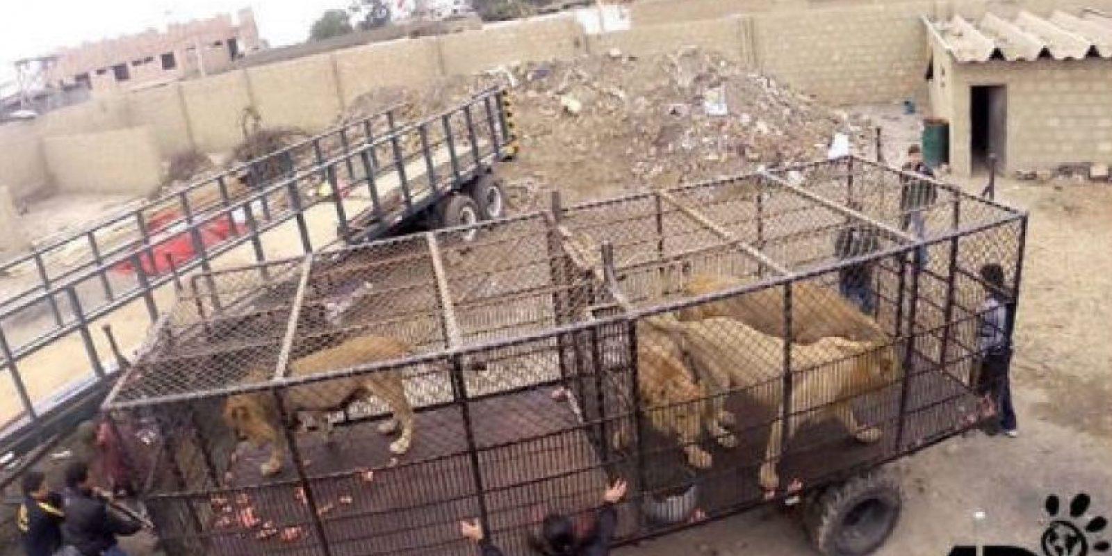 En septiembre de 2015 fue que Animal Defenders International (ADI) rescató a 33 leones. Foto:facebook.com/AnimalDefenders