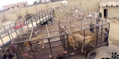 En septiembre de 2015 fue que Animal Defenders International (ADI) rescató a 33 leones. Foto: facebook.com/AnimalDefenders
