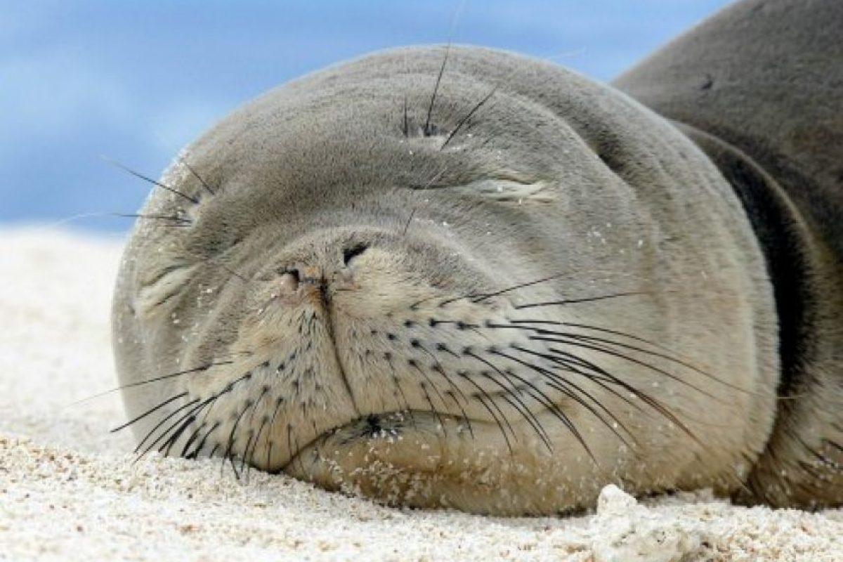 La foca monje de Hawai Foto:commons.wikimedia.org