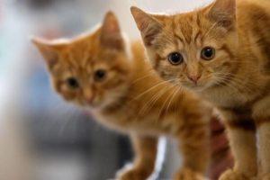 Cuando a los gatitos les crezcan los dientes, podremos comenzar a ofrecerles comida en lata o comida seca (para gatitos menores de un año) mezclada con agua tibia. Foto:Getty Images