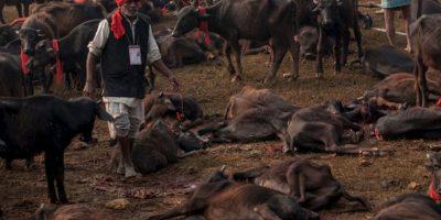 """Sacerdotes del Templo de Gadhimai mencionaron a la institución activista """"Igualdad Animal"""", que sólo se cuentan los búfalos muertos, los cuales el año pasado fueron 20 mil. Foto:vía AFP"""