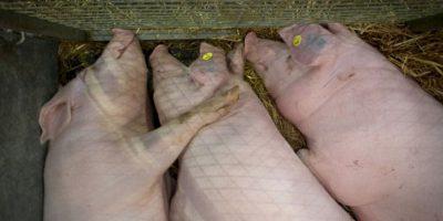4. Matanza de cerdos en Nem Thuong.El festival se celebra desde hace cientos de años en Nem Thuong, Vietnam el sexto día del primer mes lunar para conmemorar a un general de la guerra que mató a los cerdos salvajes de la zona. Foto:vía AFP