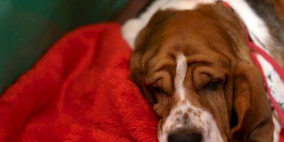 La práctica consiste en alimentar varios perros hasta el hartazgo, tapar su ano y colgarlos en una cuerda que les aprieta el estómago mientras gira. Foto:vía AFP