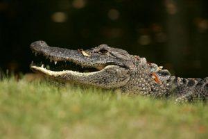 Su hábitat natural es en ríos, lagos y humedales Foto:Getty Images