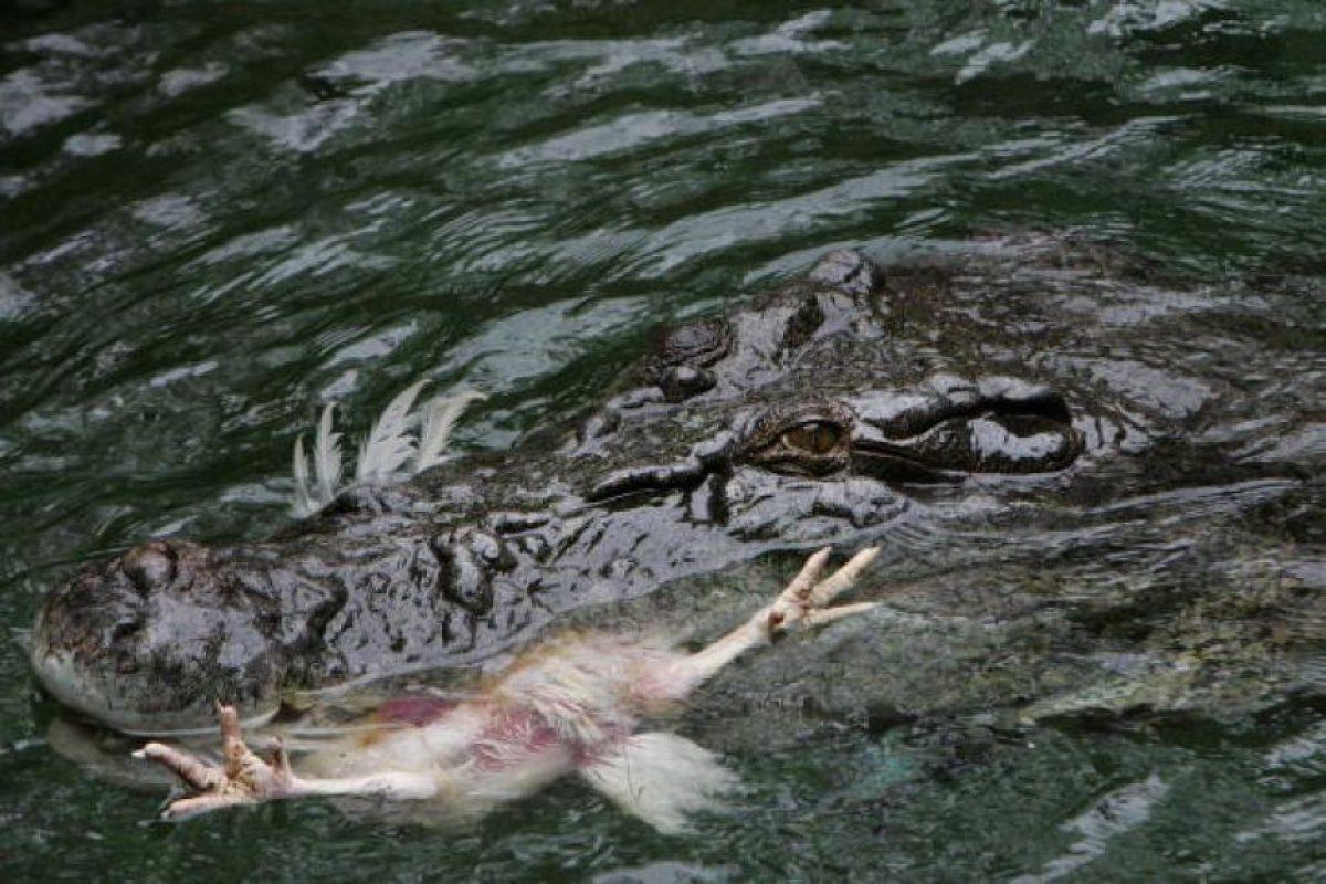 Dependiendo la especie pueden medior hasta 8.5 metros de longitud Foto:Getty Images