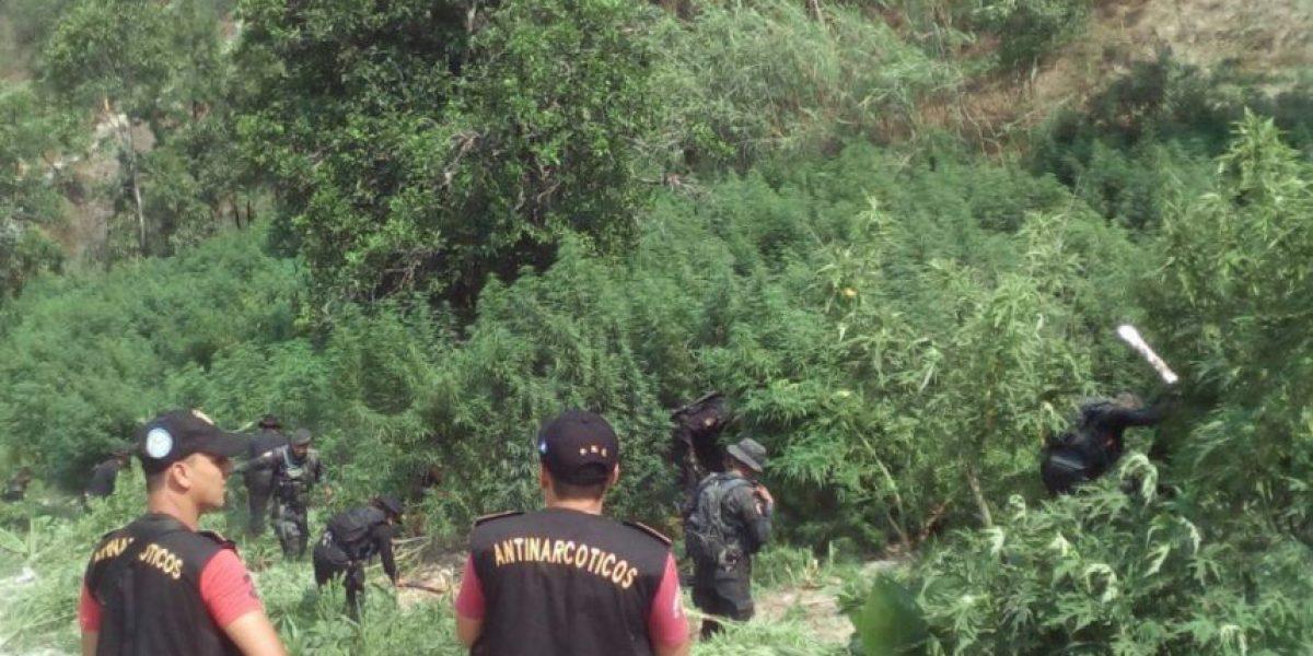 Erradicación de marihuana en Totonicapán ascendió a más de Q17 millones