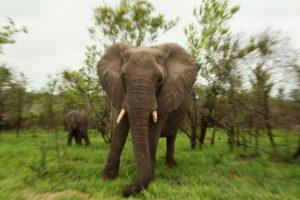 Las orejas de los elefantes son usadas para regular la temperatura corporal Foto:Getty Images