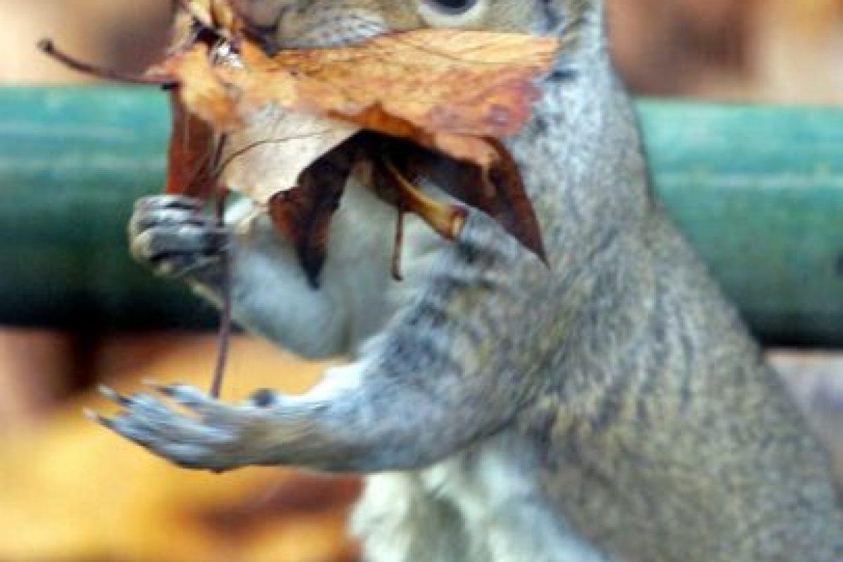 Los dientes delanteros de las ardillas no dejan de crecer nunca, por ello necesitan roer constantemente y limarlos. Foto:Getty Images