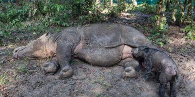 Pueden llegara a pesar entre 600 y 800 kilogramos (mil 300 a mil 700 libras). Foto:instagram.com/rhinosirf/