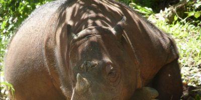 El rinoceronte de Sumatra posee dos cuernos. Foto:facebook.com/InternationalRhinoFoundation/