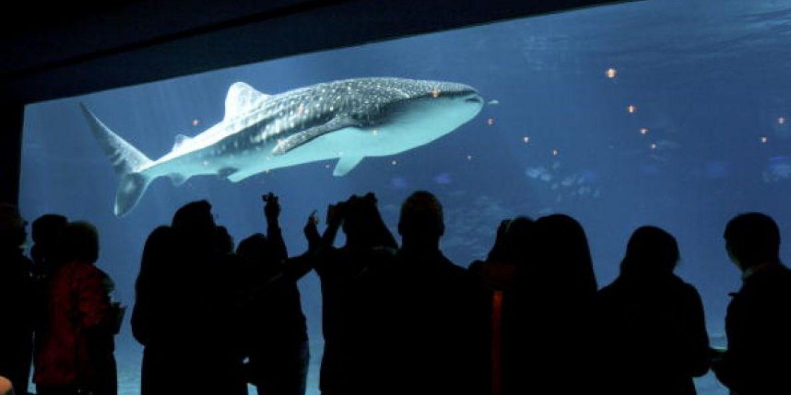 El tiburón pigmeo es uno de los tiburones más pequeños del mundo. Foto:Getty Images