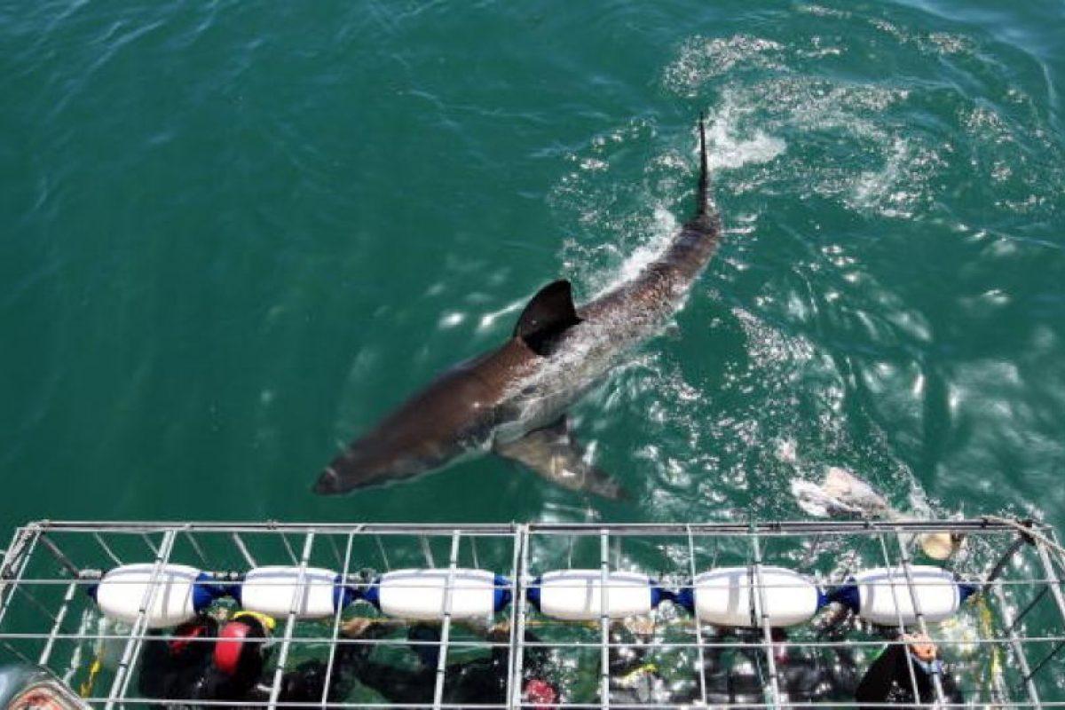 Los tiburones tienen un sentido del olfato muy agudizado Foto:Getty Images
