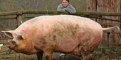 El cerdo es una subespecie de mamífero artiodáctilo de la familia Suidae. Foto:Wikicommons