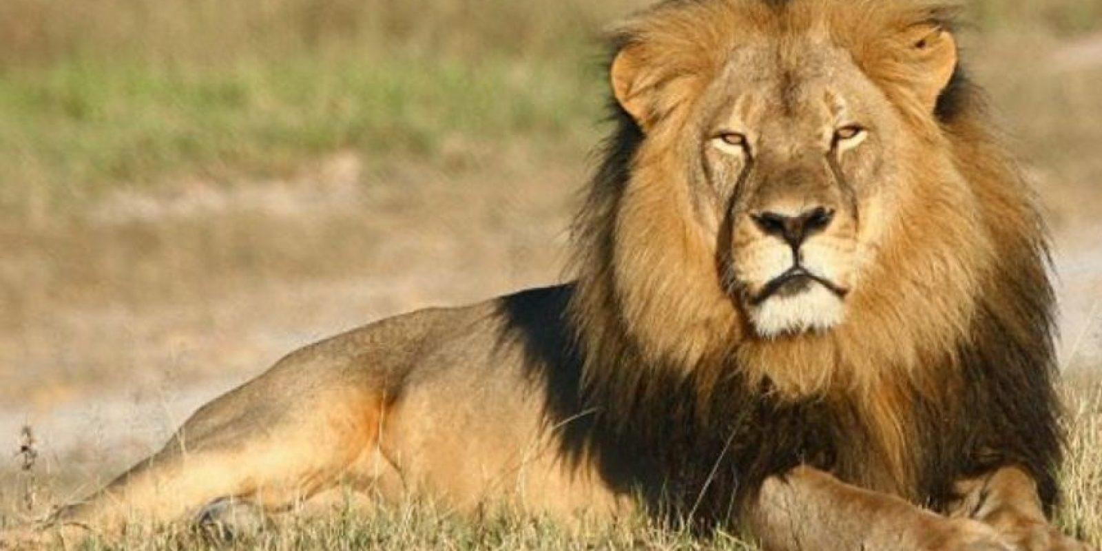 El león (Panthera leo) es un mamífero carnívoro de la familia de los félidos y una de las cinco especies del género Panthera. Foto:Getty Images
