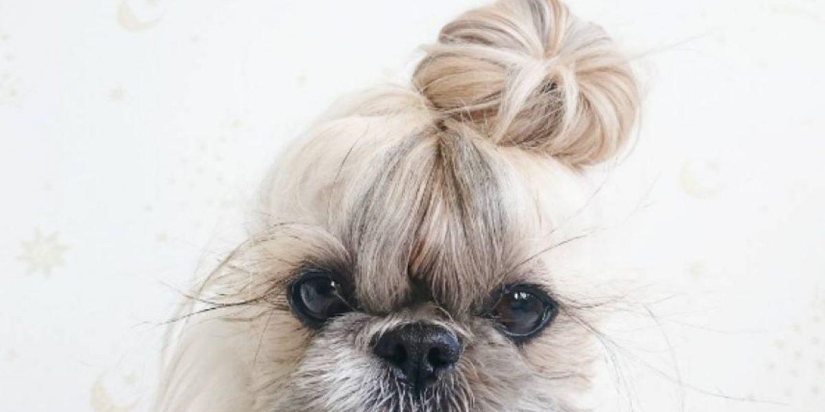 ¡Conoce a Kuma! La Shih Tzu que conquista Instagram con sus peinados fabulosos