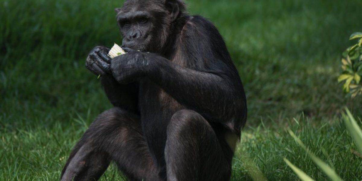 """El Zoo La Aurora recibe a sus nuevos huéspedes: """"Una familia muy Chimpática"""""""