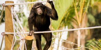 Enamórate de la nueva familia de chimpancés del Zoo La Aurora con estas imágenes