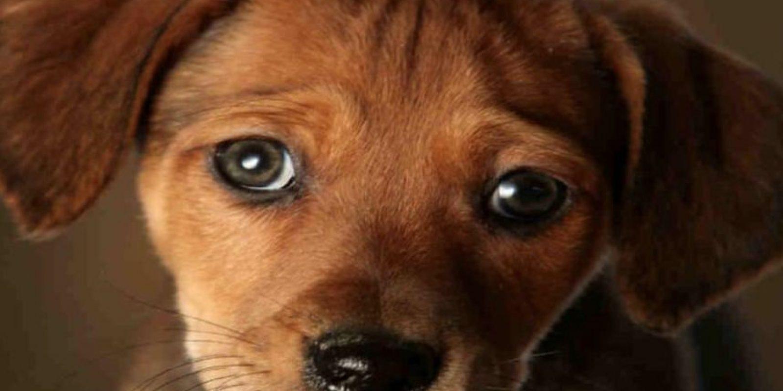 Los cachorros suelen tener rasgos similares a los bebés humanos: ojos y cabeza grandes con relación a su cuerpo, narices y barbillas pequeñas, así como frentes abultadas. Foto:vía Getty Images