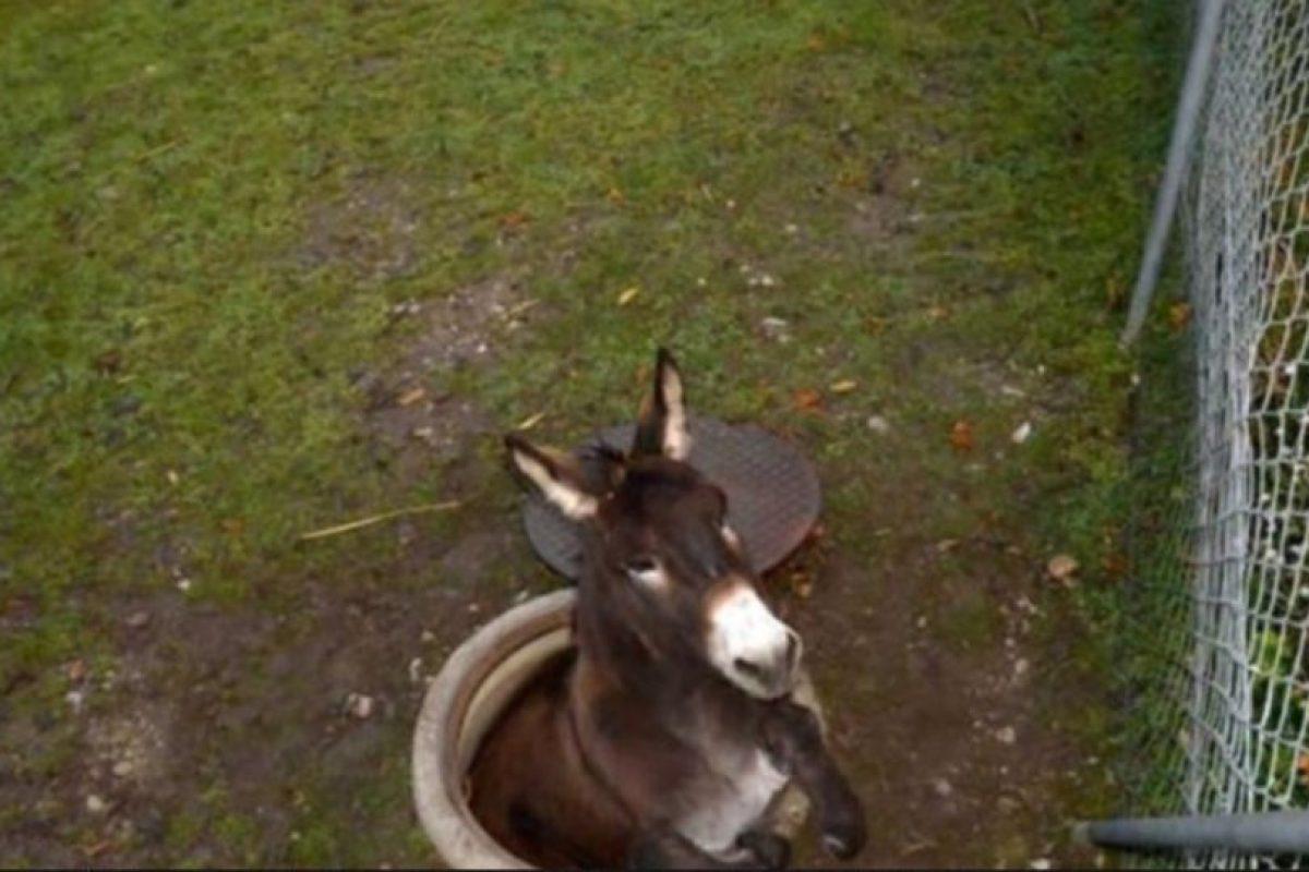 2. Un grupo de bomberos tuvo que rescatar a un burro que cayó en una coladera en Pratteln, Suiza Foto:AFP