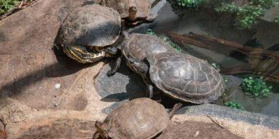 No te pierdas la oportunidad de alimentar a las nuevas tortugas del Museo Miraflores