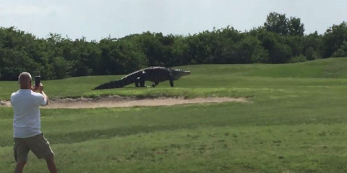 VIDEO: Cocodrilo gigante aparece en un campo de golf en Florida
