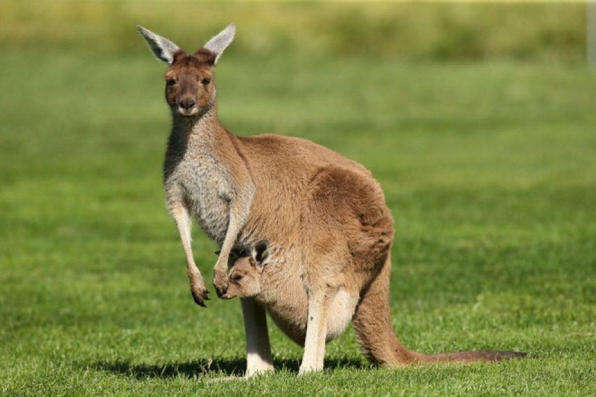 Los canguros pueden reproducirse todo el año. Foto:Getty Images