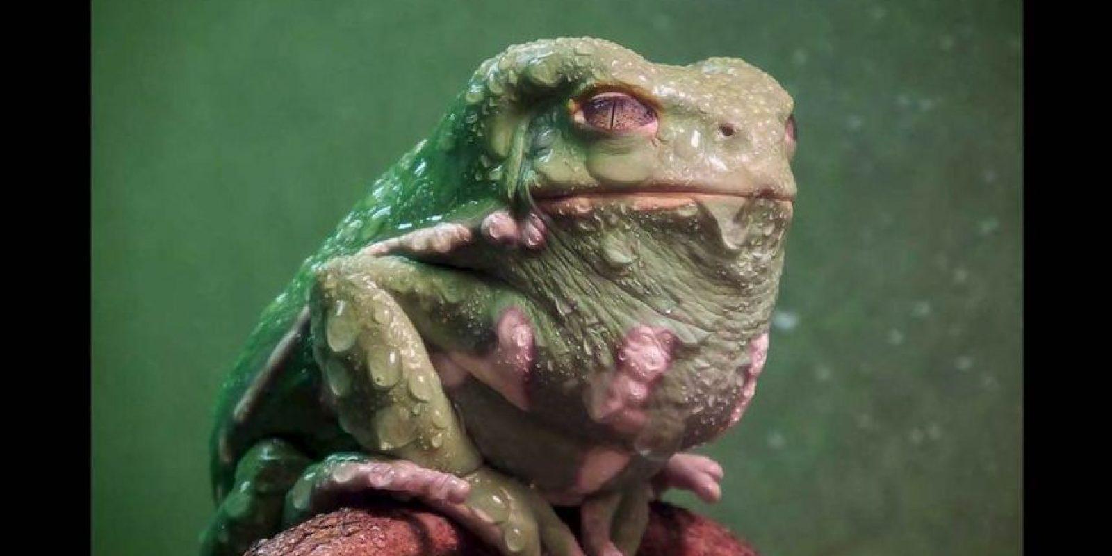 Conocida como ranas mono porque en lugar de saltar, caminan y escalan para moverse Foto:Keith Talbot