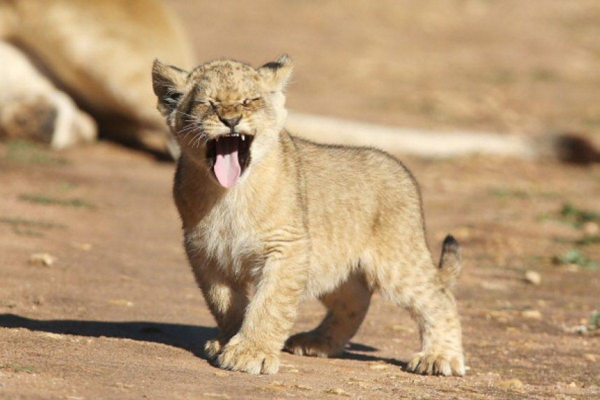 Los leones salvajes habitan en África subsahariana y Asia. Foto:Getty Images