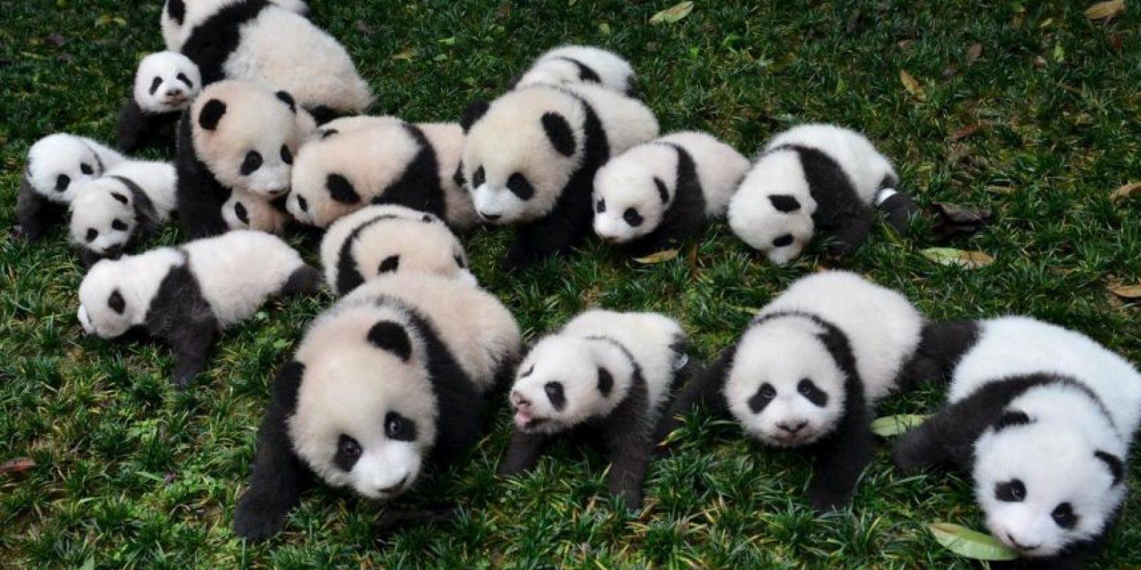 Osos panda Foto:Agencias