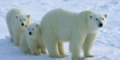 Osos polares Foto:Agencias