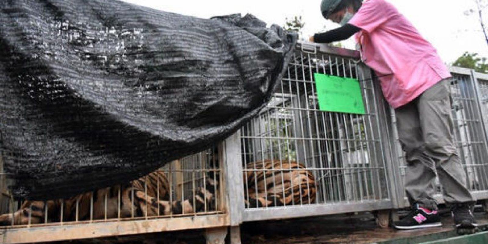 Se removieron 137 tigres del templo. Foto:AP