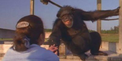 El momento en que un chimpancé le sonríe a quien le salvó hace 25 años se volvió viral, aunque fue grabado hace dos años Foto:PBS
