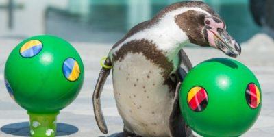 ¡Adiós al Pulpo Paul! Llegó el pingüino que predice los resultados de la EURO