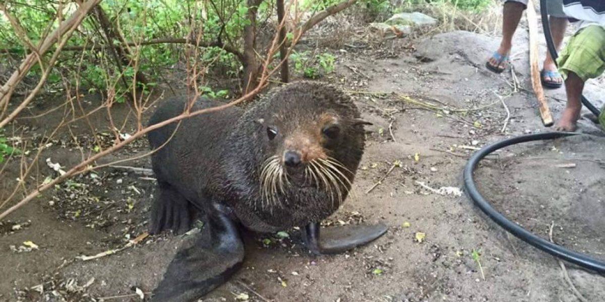"""Fotos. Se vuelve atractivo turístico el """"bello"""" león marino en la playa de Jutiapa"""
