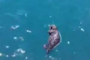 Una vez en el mar, esperaron unos minutos. Foto:Marine Mammal Center