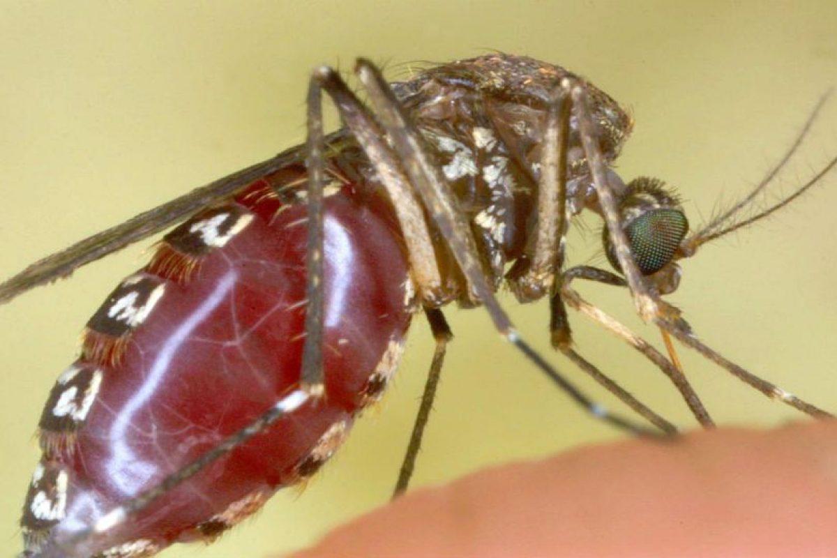 Este mosquito acaba de comer. Foto:Getty Images