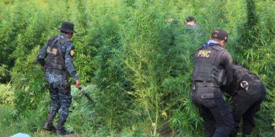 La Policía erradica miles de matas de marihuana en Totonicapan