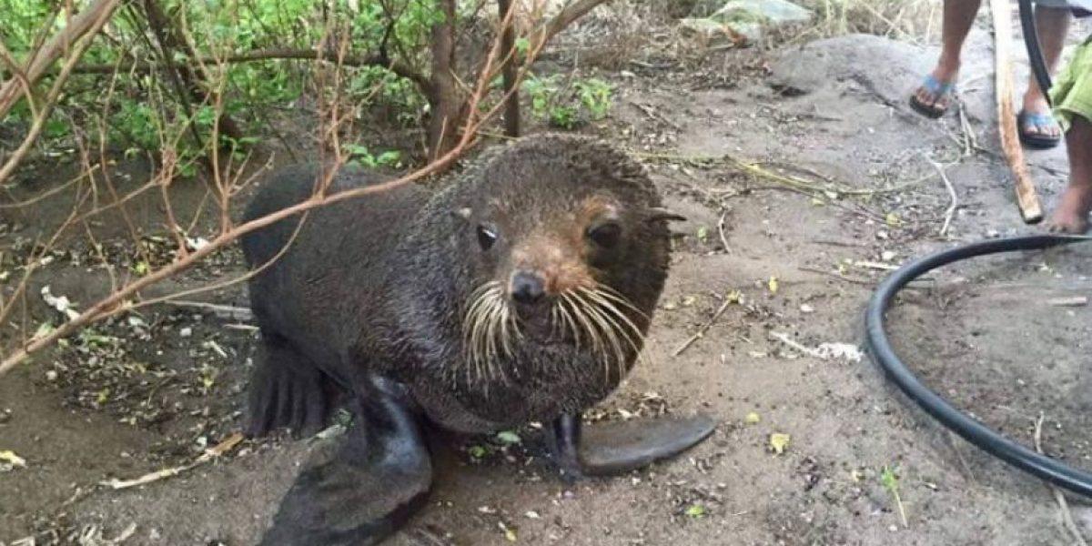 León marino hallado en Jutiapa será trasladado a Arcas, según Conap
