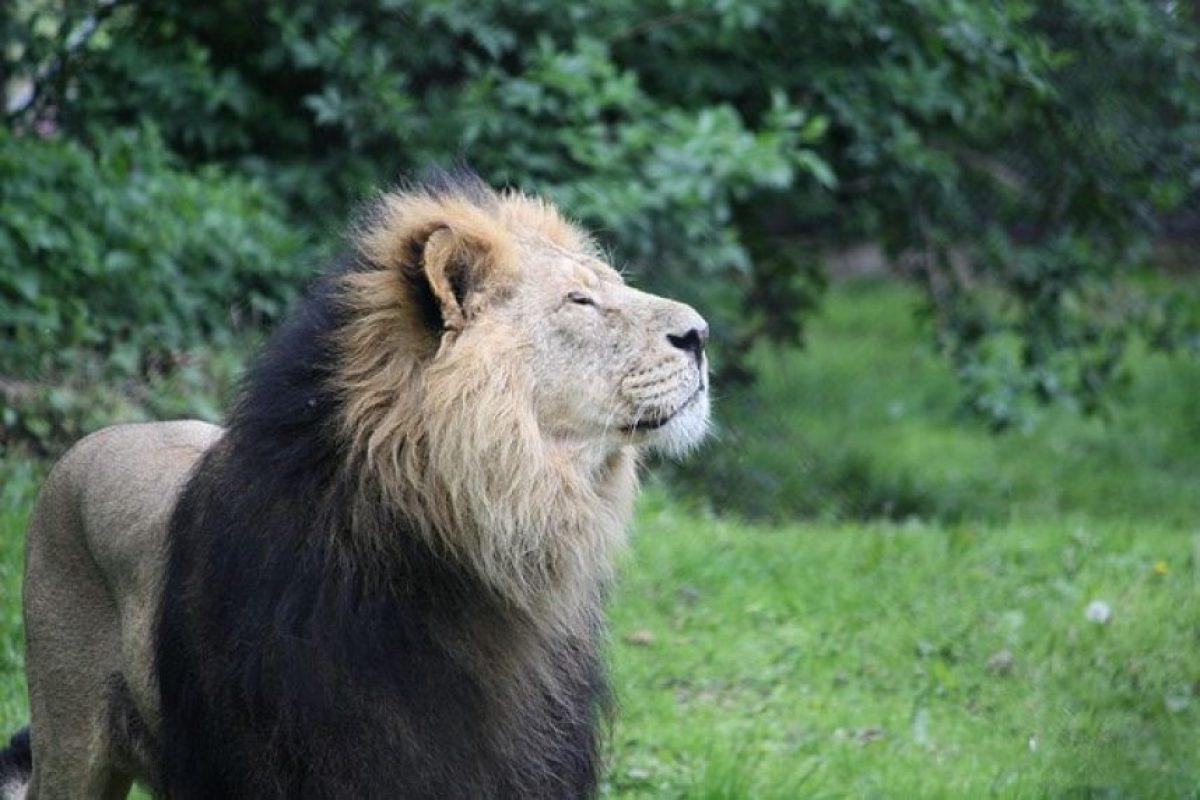 El león asiático es uno de las especies más amenazadas del mundo Foto:Wikimedia