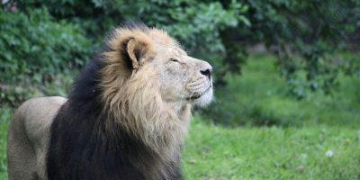 """3 leones condenados a """"cadena perpetua"""" por comer seres humanos"""
