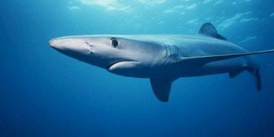 Se le considera uno de los tiburones más rápidos del océano Foto:Wikimedia