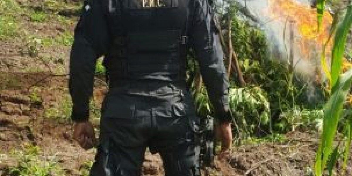 Erradicación de marihuana en Totonicapán asciende a más de Q375 millones