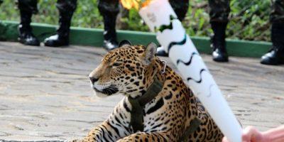 Un jaguar fue sacrificado tras un evento con la antorcha olímpica Foto:AFP