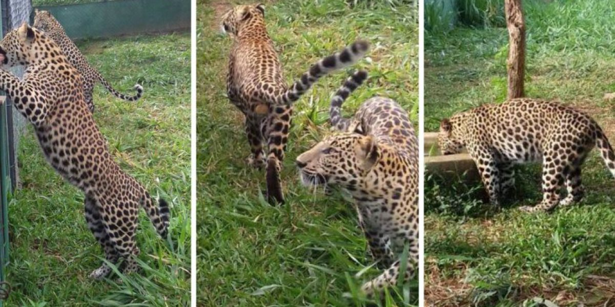 Conap inspecciona venta de leopardos en tienda de animales exóticos