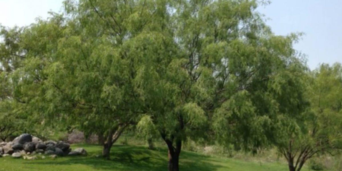 Diez datos que quizá no sabías de este árbol que contribuye a reducir la desnutrición en el país